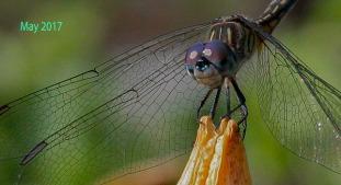 AA-Garden Dragon Fly 3 IMG_5037 29 May 17