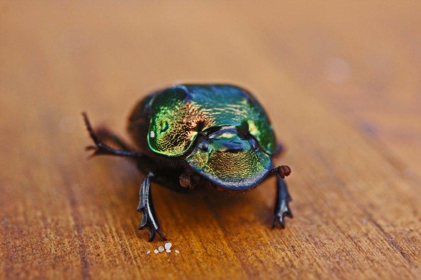 Beetle IMG_5560