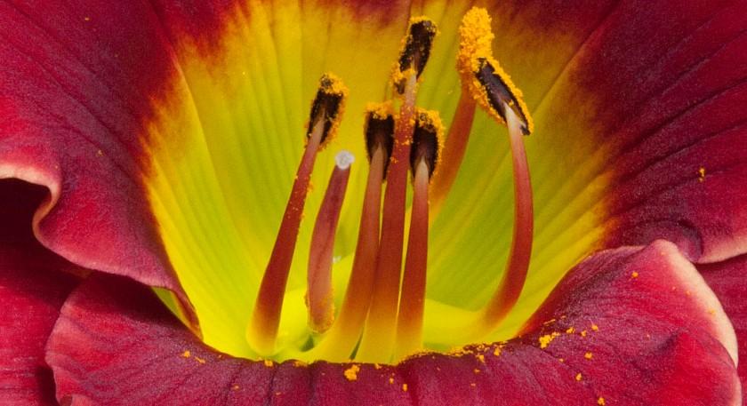 Pollen 1 Lovely LadyBug 25 Apr 17 IMG_4614