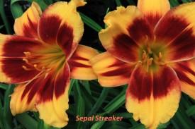 1A-Sepal Streaker 2 July 16 IMG_4235