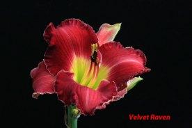 1A-Velvet Raven 12 June 16 IMG_3883