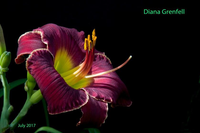 Diana Grenfell 3 Jul 17 IMG_5377