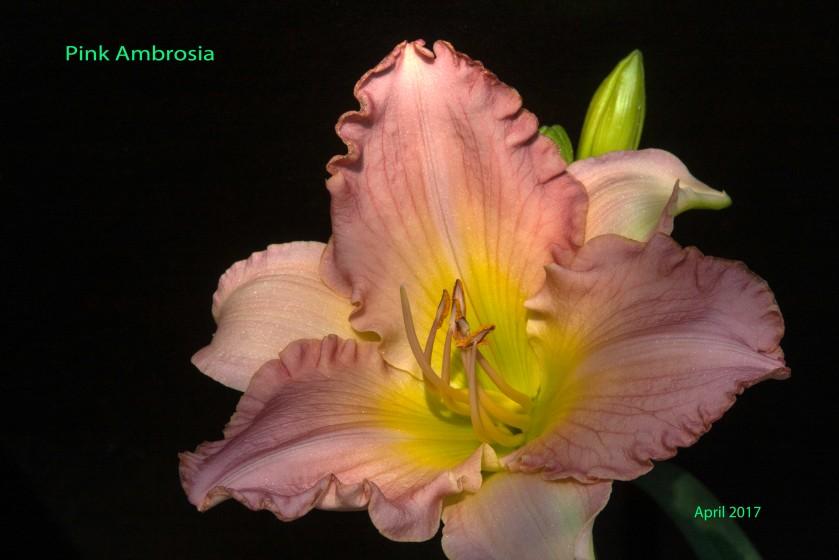 Pink Ambrosia 21 Apr 17 IMG_4598