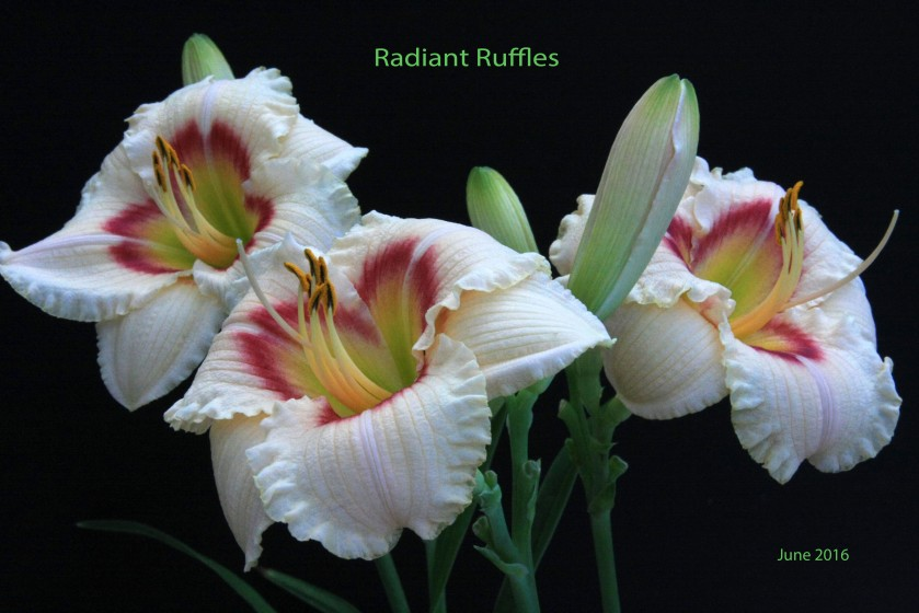 Radiant Ruffles 21 June 16 IMG_4094