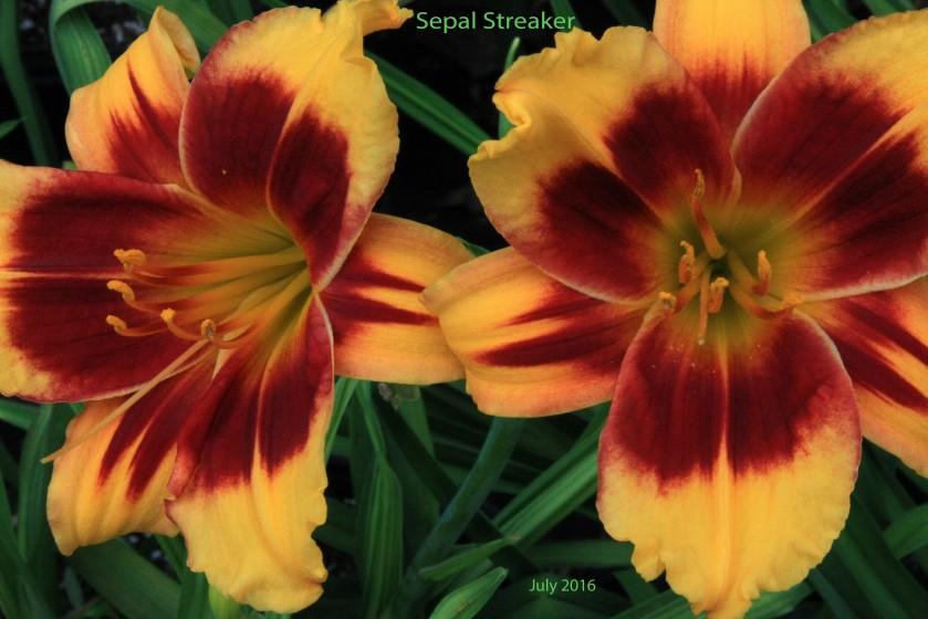 Sepal Streaker 2 July 16 IMG_4235