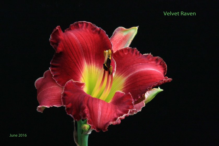 Velvet Raven 12 June 16 IMG_3883