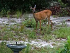 Deer1 IMG_1019
