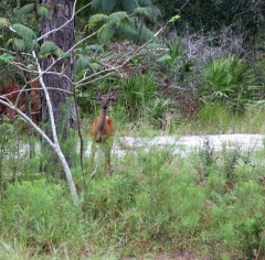 Deer11 IMG_2179