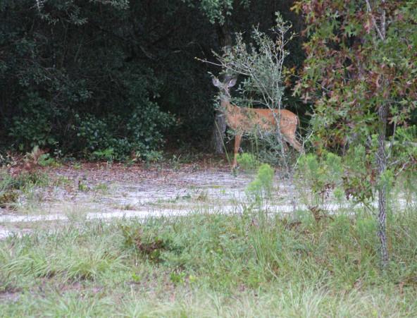Deer12 IMG_2181