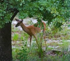 Deer2 IMG_1020