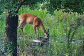 Deer3 IMG_1021