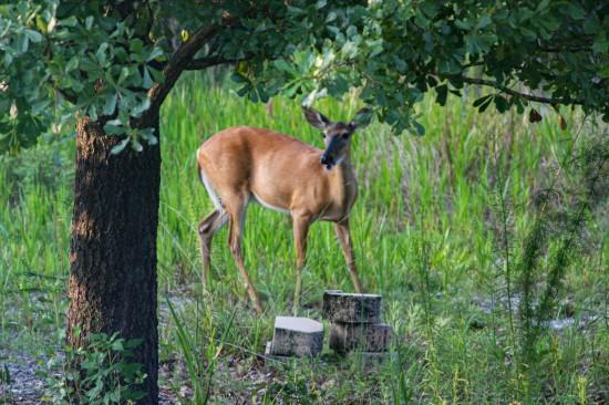 Deer4 IMG_1022