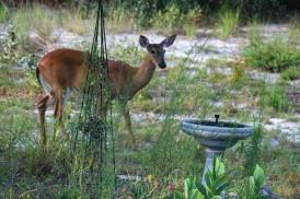 Deer5 IMG_1023