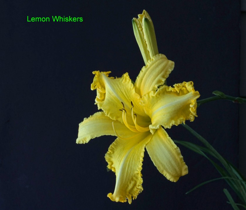 Spacecoast Lemon Whiskers QX1 50mm 12 July 2019 DSC01516