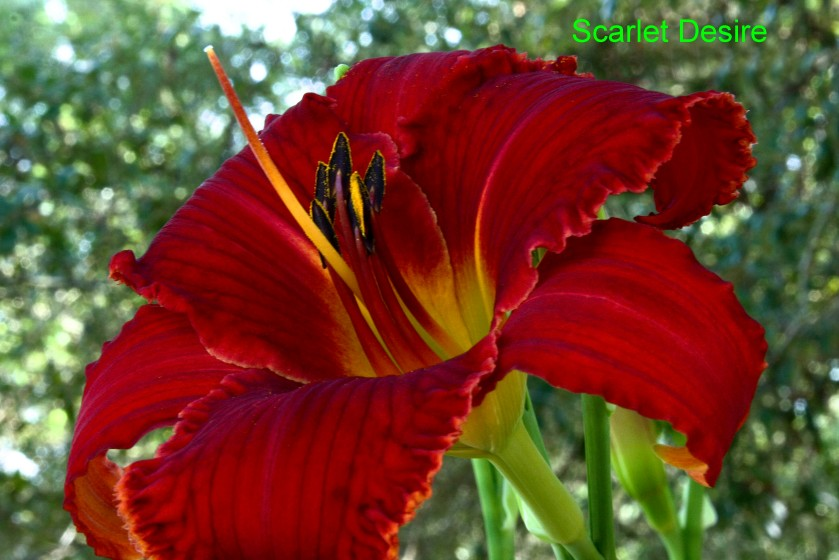 Spacecoast Scarlet Desire First Ever Bloom 18 May 2019 IMG_8387