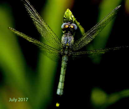 AA-Baby Dragonfly 17 July 17 IMG_5440