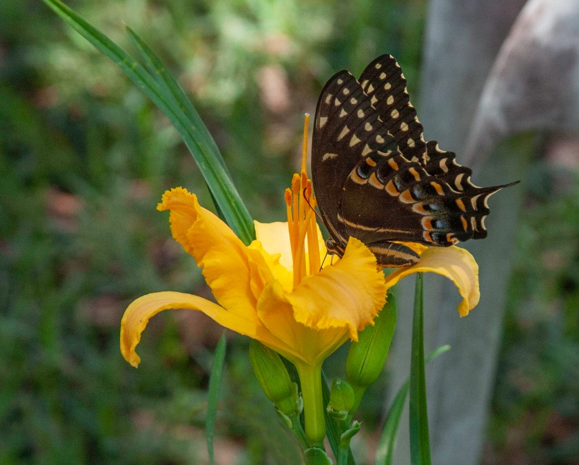 Butterfly12 IMG_7360