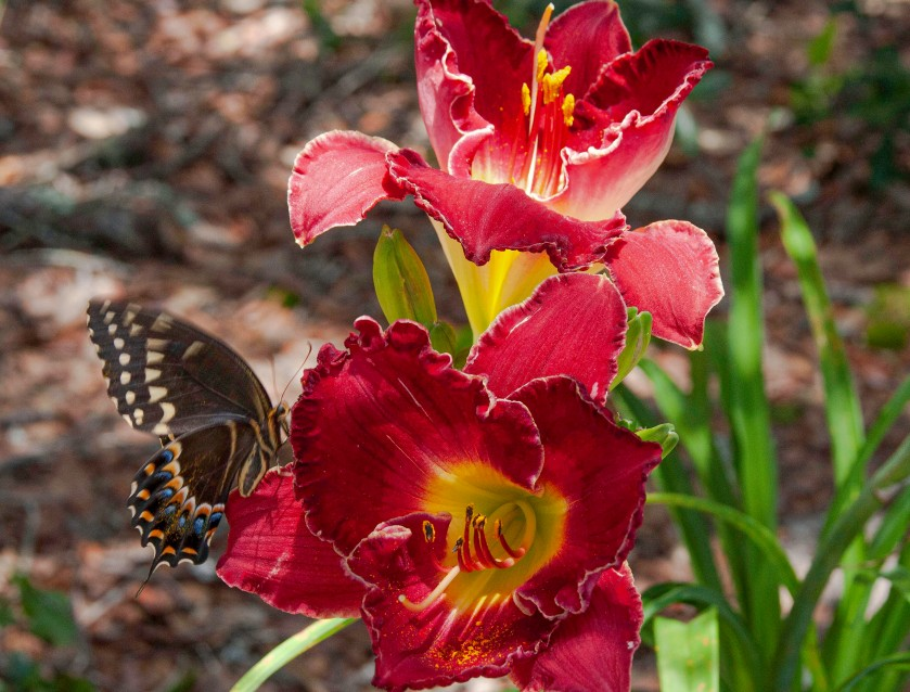 Butterfly4 IMG_7351