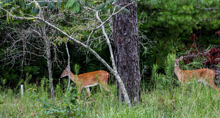 Deer1 8 Aug 2019 IMG_9424