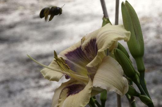 Visual Intrigue Bumble Bee 14 May 17IMG_4802